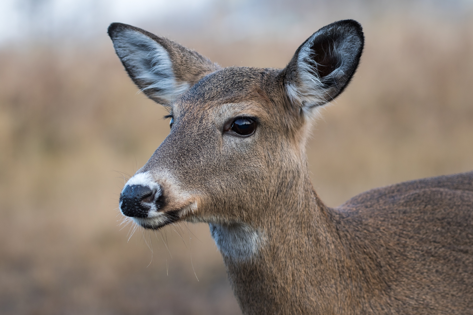 White-tailed Deer Female, Odocoileus Virginianus, closeup